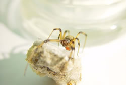 A Brown Widow spider sitting on her egg sac.